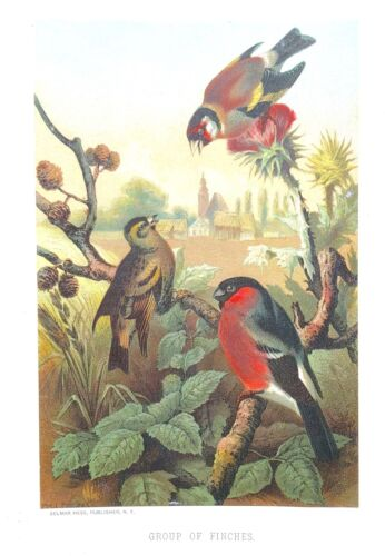 1885 Prang Chromo GROUP of FINCHES BIRD/Birds WONDERFUL COLOR PRINT