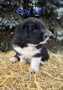 Newfoundland / Great Pyrenees puppies
