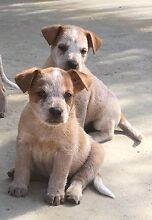 Cattle Dog Pups Milman Rockhampton Surrounds Preview