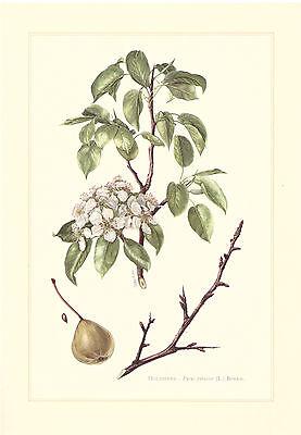 Birnbaum Blume (Holzbirne    -  Pyrus pyraster -  Birnbaum Birne l Farbdruck 1958)