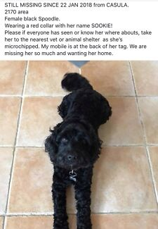 MISSING BLACK FEMALE  SPOODLE