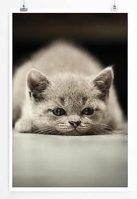 ie Poster Dösendes Britisch Kurzhaar Kätzchen (Kätzchen Poster)