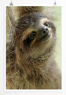 60x90cm Poster Tierfotografie – Lächelndes Baby Faultier