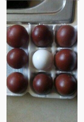 6 Quality Black Blue And Splash Copper Marans Hatching Large Dark Eggs