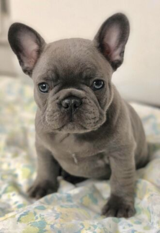 Born, Raised and Loved in Canada. French Bulldog Puppies ...