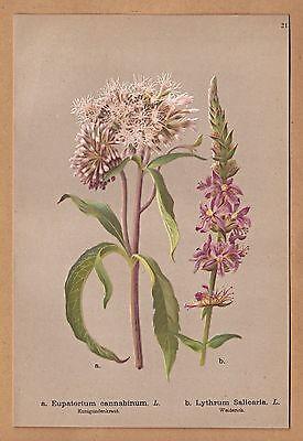 Blumen, Blüten. Kunigundenkraut und Weiderich - Lithographie von 1886
