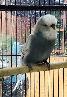 English budgie adult male