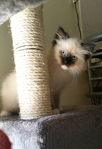 Gorgeous purebred Ragdoll Kitten Forest Lake Brisbane South West Preview