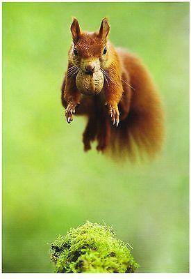 """Ansichtskarte: """"fliegendes"""" Eichhörnchen mit Walnuss - squirrel - Ècureuil"""