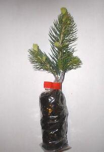 Majestic Blue Spruce, Picea Pungens Glauca,Christmas Tree, Plug Plants.