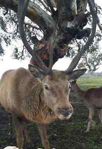 Mature Red stag Wollert Whittlesea Area Preview