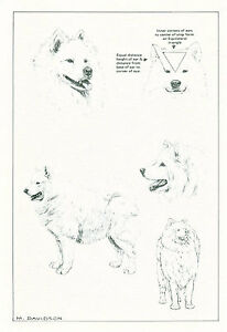 Dog Art Print Samoyed Dog by Davidson
