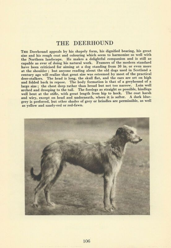 Scottish Deerhound - 1931 Vintage Dog Print - MATTED