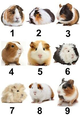 Guinea Pig Small Or Large Sticky White Paper Stickers Labels New