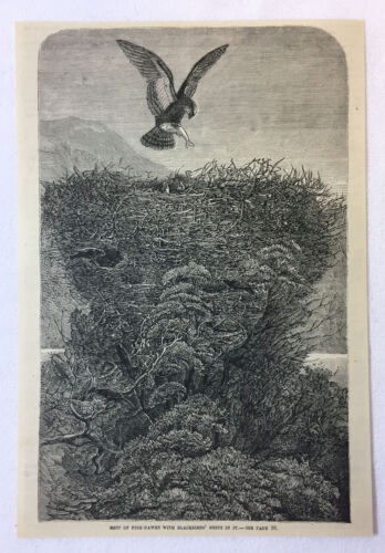 1880 magazine engraving~ NEST OF FISH HAWKS with Blackbirds