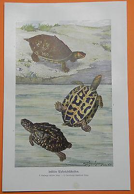 Indische Wasserschildkröten Schildkröte Indien  Farbdruck 1912