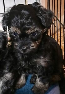 Two Gorgeous tiny Yorkie Poo boys!
