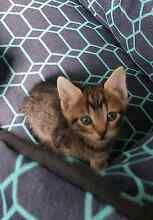 Male Kittens Blakeview Playford Area Preview