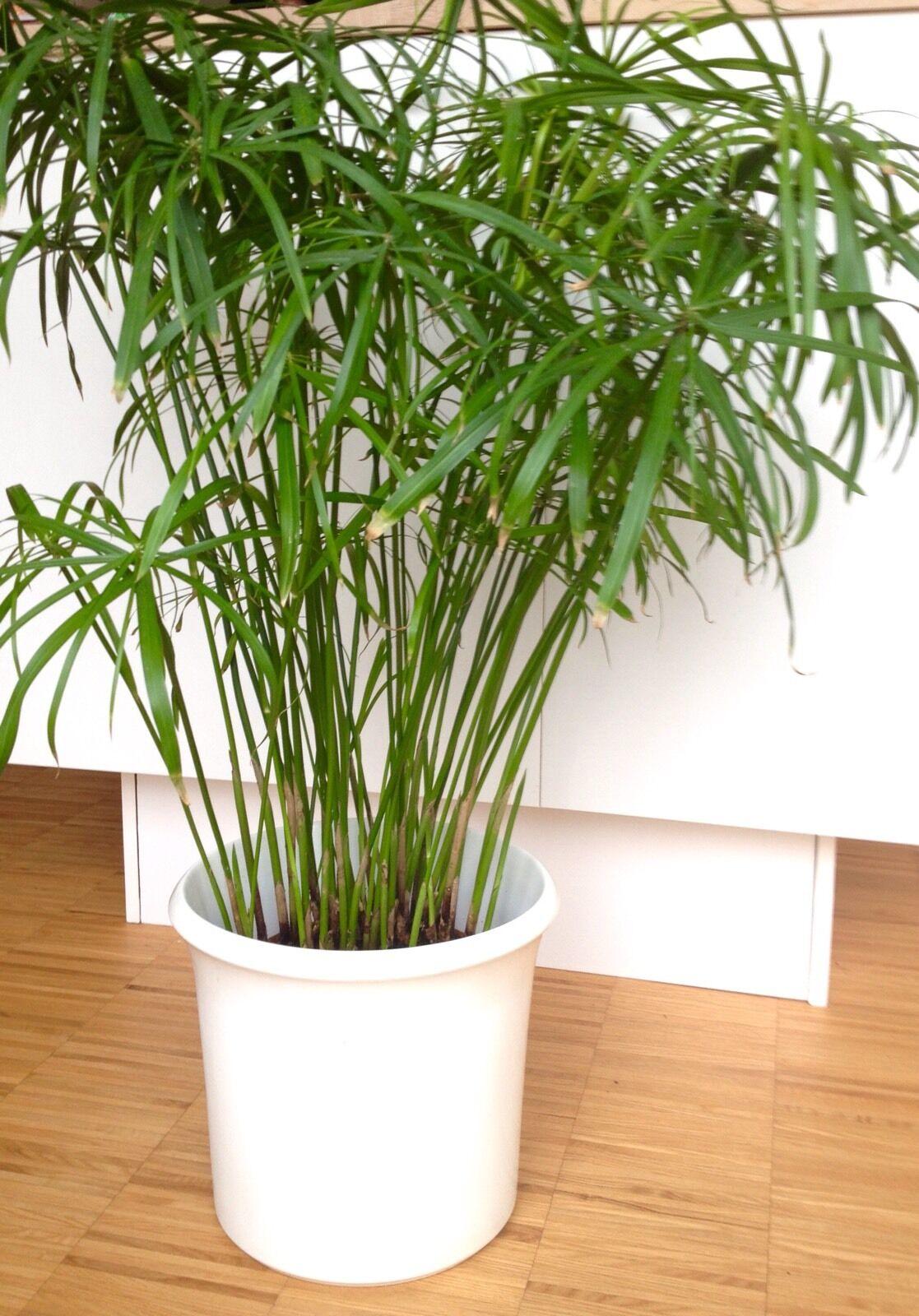 cyperus alternifolius luftbefeuchter katzen gras zyper zyperngras ableger eur 4 30 picclick de. Black Bedroom Furniture Sets. Home Design Ideas