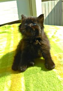 Persian ragdoll  cross kitten Parramatta Parramatta Area Preview