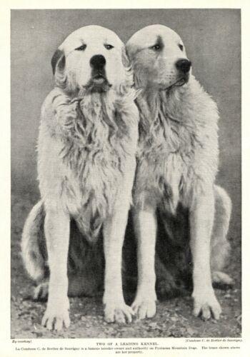1930s Antique GREAT PYRENEES Dog Print Bertier de Sauvigny Line 3286-P