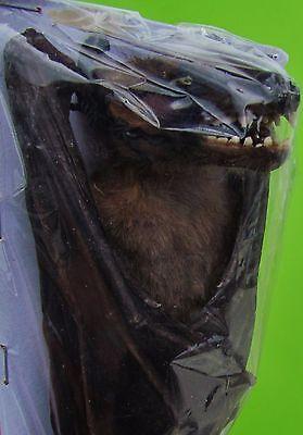 Large Leschenault's Rousette Bat Rousettus leschenaulti Hanging FAST FROM USA