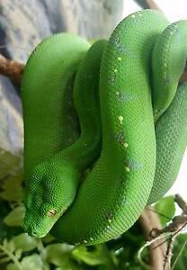 Green tree python Tolga Tablelands Preview