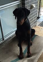 9 Month European Dobermann Camden Camden Area Preview