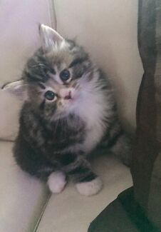 Adorable Persian  x  Ragdoll kitten to a  lovely home