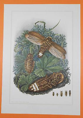 ch Glühwürmchen (Lampyridae)  Insekten Farbdruck 1955 (Leuchtkäfer, Insekt)