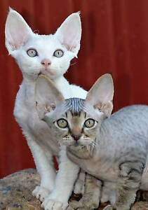 ADORABLE DEVON REX KITTENS Chermside Brisbane North East Preview