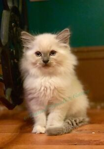 **SOLD** Stunning Ragdoll Kitten ** Ready Now **