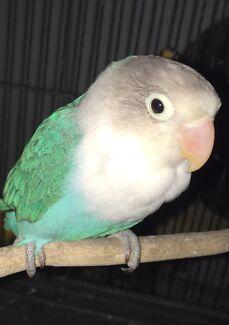 Bird of Fischer lovebird
