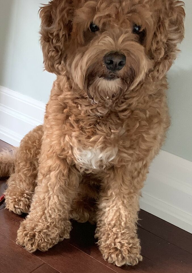 Cockapoo - 2 year old family pet - loves children