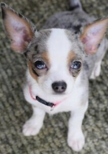 ISO: Merle Toy Breed Puppy