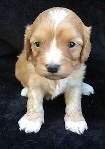 Gorgeous toy cavoodle puppies Morisset Lake Macquarie Area Preview