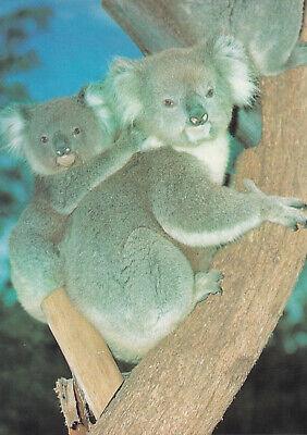 Postkarte aus Australien: Tiere: Koala mit Kind - Koala with joey