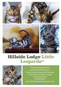 Silver rosetted Bengal kittens Registered breeder Glenorie The Hills District Preview