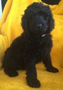 STANDARD POODLE PUPPIES 2 BOYS AVAILABLE Cambrian Hill Golden Plains Preview