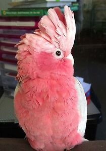 Pink and Grey Galah Offered Darling Downs Serpentine Area Preview
