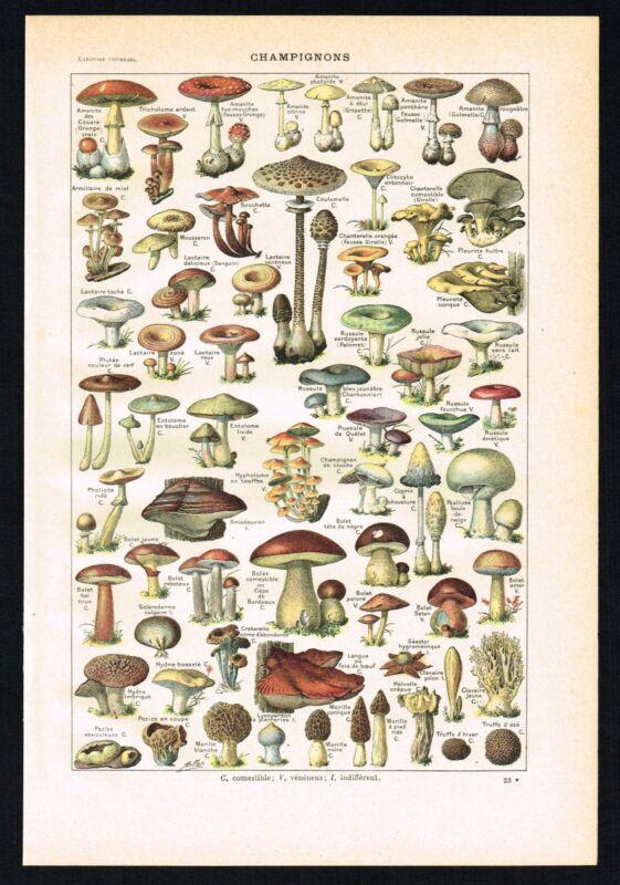 1922 Antique Print - Mushroom Varieties, Fungi, Boletus, Morels - Larousse