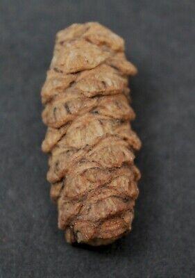 Petrified Para Araucaria Patagonica - Patagonia, Argentina  (r)