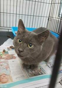 Charlie the Russian Blue rescue cat (Desexed, Vaccinated)