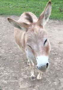 Registered miniature donkey jennet