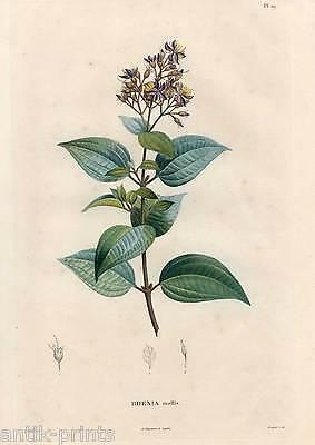 RHEXIA mollis - Blume - Pflanze - Farbstich - Poiteau-Bouquet 1800