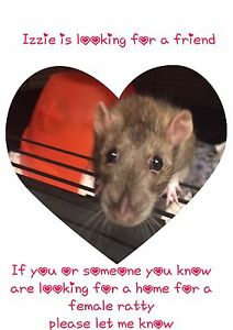 Looking for a female ratty or two