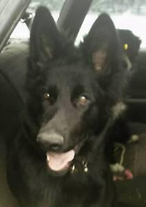 Solid Black Pedigree German Shepherd Pups Peachester Caloundra Area Preview
