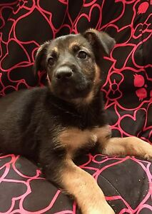 German king shepherd puppies one left!