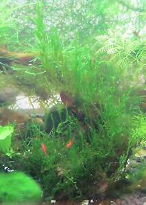 Aquatic Plants For Sale Glenroy Moreland Area Preview
