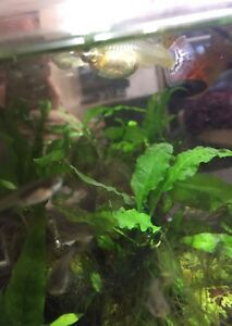 Fancy Guppy Fry and Juveniles!!